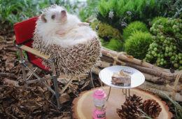 Azuki the Japanese pygmy hedgehog